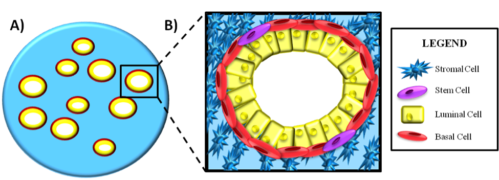 Figure 1: A) Simplistic view of the prostate gland structure. B) Cellular organization of the prostate gland structures. There are two types of cells in the prostate: 1) epithelial cells (perform most of the functional 'gland stuff') and stromal cells (responsible for structural support). There are two main types of epithelial cells: luminal cells (produce PSA and prostatic secretions, require androgen [e.g. testosterone] signalling to function), and basal cells (form the connecting border between luminal and stromal cells; do not respond to androgens). Prostate stem cells have been found to reside in the basal cell layer.