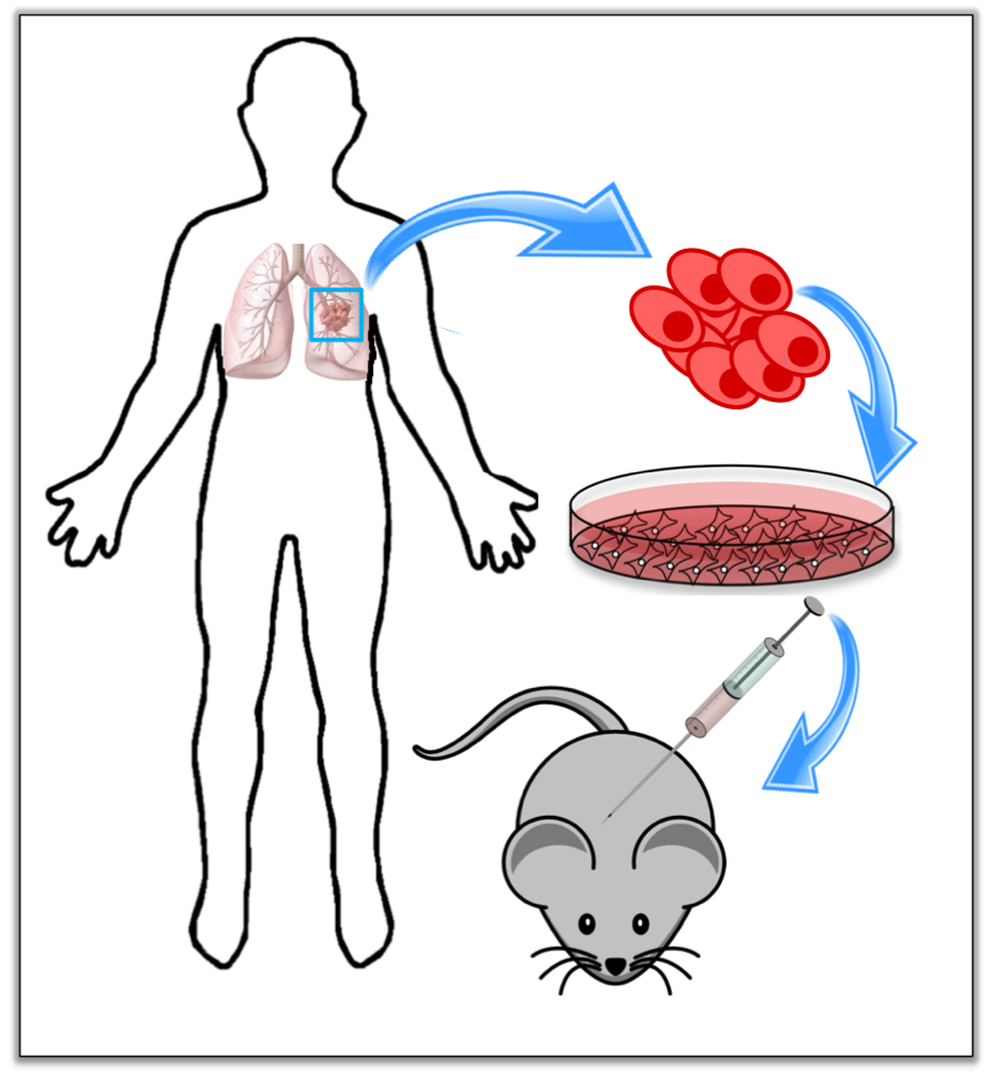 Figure 1:  Cancer stem cell researchers use xenotransplantation as in vivo models of human cancers. Human tumour cells are grown in a dish, and then injected (transplanted) into mice. The resulting mouse with a human tumour is called a xenograft.