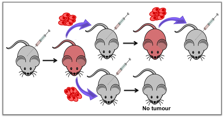 Figure 2: Serial injection of tumour cells is the gold standard of tumour-initiating cell (TIC) assessment. The first mouse is injected with human tumour cells. Once a tumour has formed, those tumour cells are then injected into a new set of mice. If a tumour forms in the second mouse (top), it is then injected into a third mouse, and so on. The continued ability to do this would indicate the presence of TICs. If no tumour forms in the second mouse (bottom), no more injections can be done, suggesting the absence of TICs.