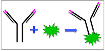 Figure 1: Antibodies conjugated to fluorescent compounds are essential to flow cytometry. An antibody for the marker of interest ('pink protein') is conjugated with (attached to) a fluorescent dye (green). These conjugate antibodies aren't actually made by researchers – they are purchased from life sciences companies.