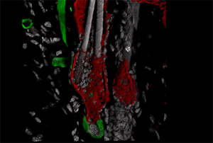 A 3D rendering of a quiescent hair follicle in telogen phase generated using confocal microscopy. Hair follicle dermal stem cells (hfDSCs) are stained with yellow fluorescent protein (YFP) and appear in green at the bottom of the image, just below the dermal papilla (DP). The epithelial compartment of the follicle is stained in red. The arrector pili and blood vessels are also stained green in the upper left area. Image courtesy of Waleed Rahmani, PhD candidate, Biernaskie lab.