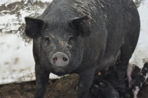 Summer_pigs