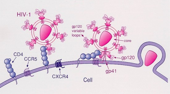 HIV virus enters the cell via the CCR5 receptor (image courtesy of Wikipedia)