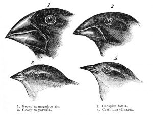 Darwin's finches. Creative Commons
