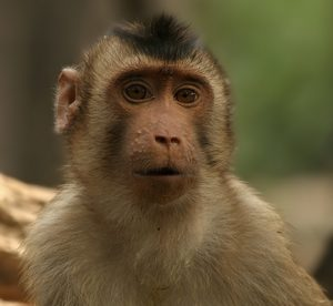 Southern pig-tailed macaque. Creative Commons.